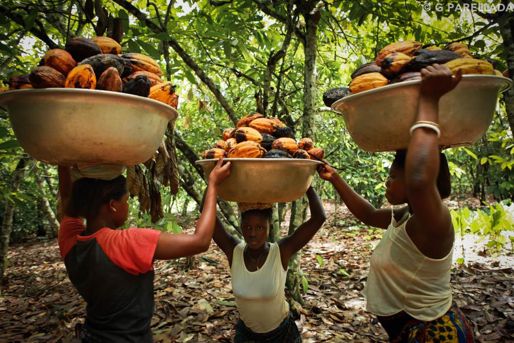 Cocoa Ivory Coast Parellada-2